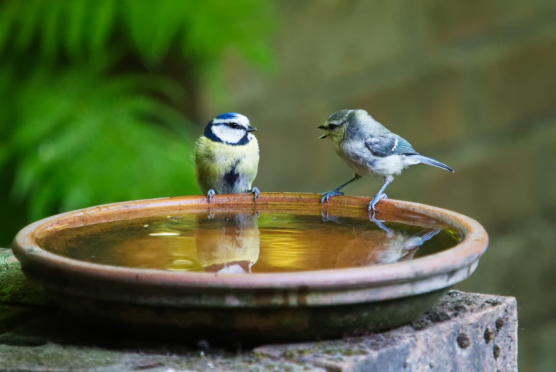 Två fåglar vid fågelbad